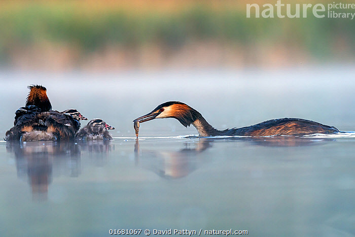 Great crested grebe (Podiceps cristatus) parent bird feeding fish to to its chicks with the other parent bird, Valkenhorst Nature Reserve, Valkenswaard, The Netherlands. May  ,  Animal,Wildlife,Vertebrate,Bird,Birds,Grebe,Great crested grebe,Wildfowl,Water fowl,Animalia,Animal,Wildlife,Vertebrate,Aves,Bird,Birds,Podicipediformes,Podicipedidae,Grebe,Podiceps,Podiceps cristatus,Great crested grebe,Europe,Western Europe,The Netherlands,Holland,Netherlands,Copy Space,Young Animal,Baby,Chick,Reflection,Nature,Nature Reserve,Freshwater,Water,Animal Behaviour,Parental behaviour,Feeding young,Family,Parental,Negative space,Parent baby,Waterfowl,Wildfowl,Water fowl,Parenting,  ,  David Pattyn