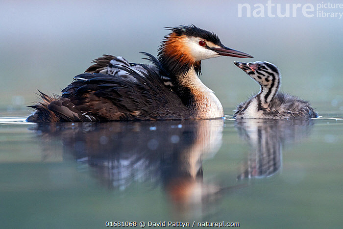 Great crested grebe (Podiceps cristatus) parent bird with young on its back and one chick on the water, portrait in the first morning light Valkenhorst Nature Reserve, Valkenswaard, The Netherlands. May  ,  Animal,Wildlife,Vertebrate,Bird,Birds,Grebe,Great crested grebe,Wildfowl,Water fowl,Animalia,Animal,Wildlife,Vertebrate,Aves,Bird,Birds,Podicipediformes,Podicipedidae,Grebe,Podiceps,Podiceps cristatus,Great crested grebe,Morning,Mornings,Europe,Western Europe,The Netherlands,Holland,Netherlands,Young Animal,Baby,Chick,Reflection,Nature,Nature Reserve,Freshwater,Water,Family,Parent baby,Waterfowl,Wildfowl,Water fowl,  ,  David Pattyn