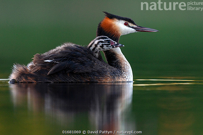 Great crested grebe (Podiceps cristatus) parent bird with chicks on its back, portrait in the first morning light Valkenhorst Nature Reserve, Valkenswaard, The Netherlands. May  ,  Animal,Wildlife,Vertebrate,Bird,Birds,Grebe,Great crested grebe,Wildfowl,Water fowl,Animalia,Animal,Wildlife,Vertebrate,Aves,Bird,Birds,Podicipediformes,Podicipedidae,Grebe,Podiceps,Podiceps cristatus,Great crested grebe,Morning,Mornings,Europe,Western Europe,The Netherlands,Holland,Netherlands,Copy Space,Young Animal,Baby,Chick,Nature,Nature Reserve,Freshwater,Water,Family,Negative space,Parent baby,Waterfowl,Wildfowl,Water fowl,  ,  David Pattyn