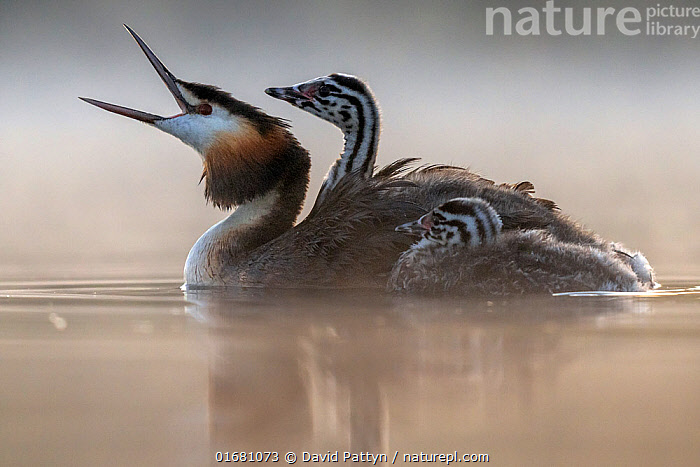 Great crested grebe (Podiceps cristatus) parent bird with chick on its back and one next to it in the water; portrait in the first morning light Valkenhorst Nature Reserve, Valkenswaard, The Netherlands. June  ,  Animal,Wildlife,Vertebrate,Bird,Birds,Grebe,Great crested grebe,Wildfowl,Water fowl,Animalia,Animal,Wildlife,Vertebrate,Aves,Bird,Birds,Podicipediformes,Podicipedidae,Grebe,Podiceps,Podiceps cristatus,Great crested grebe,Morning,Mornings,Europe,Western Europe,The Netherlands,Holland,Netherlands,Copy Space,Young Animal,Baby,Chick,Nature,Nature Reserve,Freshwater,Water,Family,Negative space,Parent baby,Waterfowl,Wildfowl,Water fowl,  ,  David Pattyn