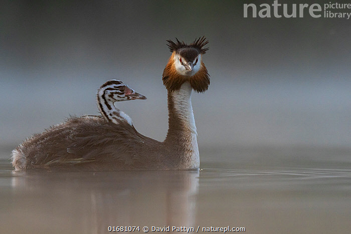 Great crested grebe (Podiceps cristatus) parent bird with chicks on its back, portrait in the first morning light Valkenhorst Nature Reserve, Valkenswaard, The Netherlands. June  ,  Animal,Wildlife,Vertebrate,Bird,Birds,Grebe,Great crested grebe,Wildfowl,Water fowl,Animalia,Animal,Wildlife,Vertebrate,Aves,Bird,Birds,Podicipediformes,Podicipedidae,Grebe,Podiceps,Podiceps cristatus,Great crested grebe,Morning,Mornings,Europe,Western Europe,The Netherlands,Holland,Netherlands,Copy Space,Young Animal,Baby,Chick,Nature,Nature Reserve,Freshwater,Water,Family,Negative space,Parent baby,Waterfowl,Wildfowl,Water fowl,  ,  David Pattyn