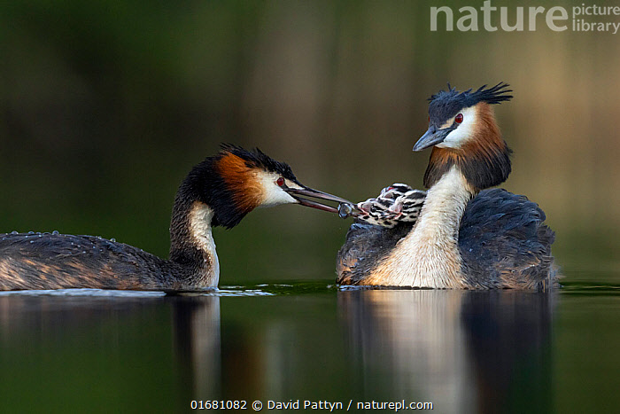 Great crested grebe (Podiceps cristatus) parent bird with chicks on the back while the other parent is feeding the chicks with a fish Valkenhorst Nature Reserve, Valkenswaard, The Netherlands. May  ,  Animal,Wildlife,Vertebrate,Bird,Birds,Grebe,Great crested grebe,Wildfowl,Water fowl,Animalia,Animal,Wildlife,Vertebrate,Aves,Bird,Birds,Podicipediformes,Podicipedidae,Grebe,Podiceps,Podiceps cristatus,Great crested grebe,Europe,Western Europe,The Netherlands,Holland,Netherlands,Young Animal,Baby,Chick,Nature,Nature Reserve,Freshwater,Water,Family,Parent baby,Waterfowl,Wildfowl,Water fowl,  ,  David Pattyn