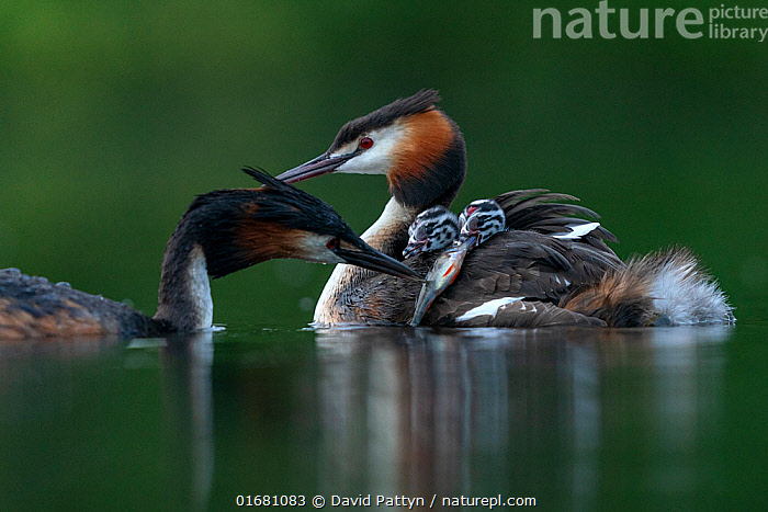 Great crested grebe (Podiceps cristatus) parent bird with chicks on its back while the other parent is feeding the chicks with a fish Valkenhorst Nature Reserve, Valkenswaard, The Netherlands. May  ,  Animal,Wildlife,Vertebrate,Bird,Birds,Grebe,Great crested grebe,Wildfowl,Water fowl,Animalia,Animal,Wildlife,Vertebrate,Aves,Bird,Birds,Podicipediformes,Podicipedidae,Grebe,Podiceps,Podiceps cristatus,Great crested grebe,Europe,Western Europe,The Netherlands,Holland,Netherlands,Young Animal,Baby,Chick,Nature,Nature Reserve,Freshwater,Water,Animal Behaviour,Parental behaviour,Feeding young,Family,Parental,Parent baby,Waterfowl,Wildfowl,Water fowl,Parenting,  ,  David Pattyn