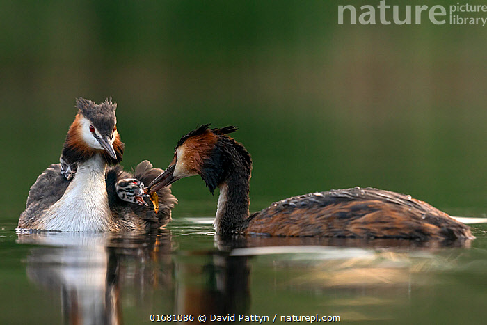 Great crested grebe (Podiceps cristatus) parent bird with chicks on its back while the other parent is feeding the chicks with a fish Valkenhorst Nature Reserve, Valkenswaard, The Netherlands. May  ,  Animal,Wildlife,Vertebrate,Bird,Birds,Grebe,Great crested grebe,Wildfowl,Water fowl,Animalia,Animal,Wildlife,Vertebrate,Aves,Bird,Birds,Podicipediformes,Podicipedidae,Grebe,Podiceps,Podiceps cristatus,Great crested grebe,Europe,Western Europe,The Netherlands,Holland,Netherlands,Copy Space,Young Animal,Baby,Chick,Nature,Nature Reserve,Freshwater,Water,Family,Negative space,Parent baby,Waterfowl,Wildfowl,Water fowl,  ,  David Pattyn