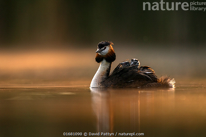Great crested grebe (Podiceps cristatus) adult with young on the back in the first morning light. Valkenhorst Nature Reserve, Valkenswaard, The Netherlands May  ,  Animal,Wildlife,Vertebrate,Bird,Birds,Grebe,Great crested grebe,Wildfowl,Water fowl,Animalia,Animal,Wildlife,Vertebrate,Aves,Bird,Birds,Podicipediformes,Podicipedidae,Grebe,Podiceps,Podiceps cristatus,Great crested grebe,Morning,Mornings,Europe,Western Europe,The Netherlands,Holland,Netherlands,Copy Space,Young Animal,Baby,Chick,Beautiful,Nature,Nature Reserve,Freshwater,Water,Family,Dawn,Negative space,Parent baby,Waterfowl,Wildfowl,Water fowl,  ,  David Pattyn
