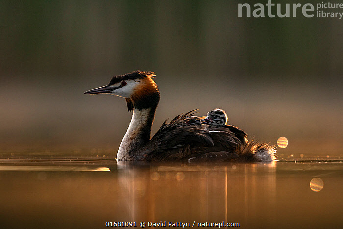 Great crested grebe (Podiceps cristatus) adult with chicks on its back in the first morning light. Valkenhorst Nature Reserve, Valkenswaard, The Netherlands May  ,  Animal,Wildlife,Vertebrate,Bird,Birds,Grebe,Great crested grebe,Wildfowl,Water fowl,Animalia,Animal,Wildlife,Vertebrate,Aves,Bird,Birds,Podicipediformes,Podicipedidae,Grebe,Podiceps,Podiceps cristatus,Great crested grebe,Morning,Mornings,Europe,Western Europe,The Netherlands,Holland,Netherlands,Copy Space,Young Animal,Baby,Chick,Beautiful,Nature,Nature Reserve,Freshwater,Water,Family,Dawn,Negative space,Parent baby,Waterfowl,Wildfowl,Water fowl,  ,  David Pattyn