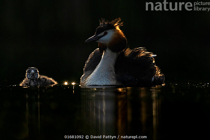 Great crested grebe (Podiceps cristatus) adult with young chick next to it in backlight early in the morning. Valkenhorst Nature Reserve, Valkenswaard, The Netherlands May  ,  Animal,Wildlife,Vertebrate,Bird,Birds,Grebe,Great crested grebe,Wildfowl,Water fowl,Animalia,Animal,Wildlife,Vertebrate,Aves,Bird,Birds,Podicipediformes,Podicipedidae,Grebe,Podiceps,Podiceps cristatus,Great crested grebe,Morning,Mornings,Europe,Western Europe,The Netherlands,Holland,Netherlands,Copy Space,Young Animal,Baby,Chick,Nature,Nature Reserve,Freshwater,Water,Family,Negative space,Parent baby,Waterfowl,Wildfowl,Water fowl,  ,  David Pattyn