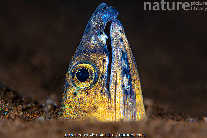 Portrait of a Black saddle snake eel (Ophichthus cephalozona) emerging from the sand at night. Dauin, Dauin Marine Protected Area, Dumaguete, Negros, Philippines. Bohol Sea, tropical west Pacific Ocean.  ,  Animal,Wildlife,Vertebrate,Ray-finned fish,Eel,Snake eels,Black saddle snake eel,Animalia,Animal,Wildlife,Vertebrate,Actinopterygii,Ray-finned fish,Osteichthyes,Bony fish,Fish,Anguilliformes,Eel,Ophichthidae,Snake eels,Worm eels,Ophichthus,Asia,South East Asia,Republic of the Philippines,Copy Space,Tropical,Ocean,Pacific Ocean,Marine,Underwater,Water,Saltwater,Biodiversity hotspots,Biodiversity hotspot,Philippines,Negative space,Dumaguete,Ophichthus cephalozona,Black saddle snake eel,  ,  Alex Mustard