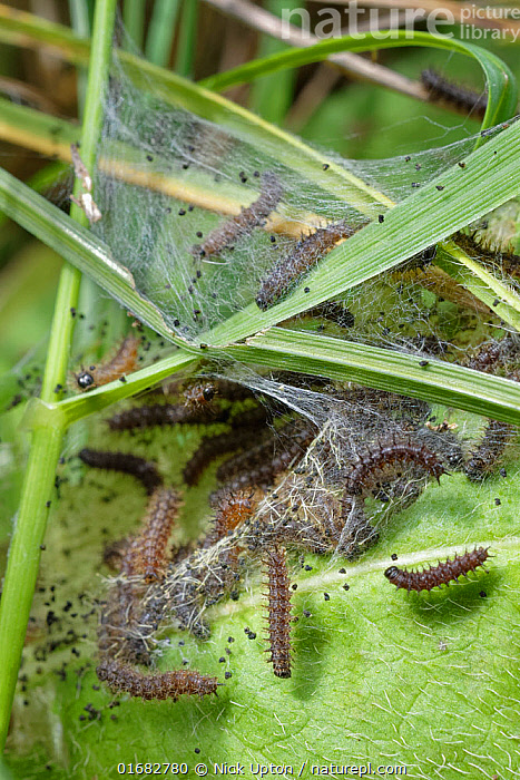 Seven week old Marsh fritillary (Euphydryas aurinia) caterpillars feeding on Devil's bit scabious (Succisa pratensis) leaves, their larval food plant, under a silken web they have spun in a chalk grassland meadow, Wiltshire, UK, August.  ,  Plant,Vascular plant,Flowering plant,Asterid,Teasel family,Devils bit scabious,Animal,Wildlife,Arthropod,Insect,Brushfooted butterfly,Marsh fritillary,Plantae,Plant,Tracheophyta,Vascular plant,Magnoliopsida,Flowering plant,Angiosperm,Spermatophyte,Spermatophytina,Angiospermae,Dipsacales,Asterid,Dicot,Dicotyledon,Asteranae,Dipsacaceae,Teasel family,Succisa,Succisa pratensis,Devils bit scabious,Devilsbit scabious,Scabiosa succisa,Scabiosa arvensis,Animalia,Animal,Wildlife,Hexapoda,Arthropod,Invertebrate,Hexapod,Arthropoda,Insecta,Insect,Lepidoptera,Lepidopterans,Nymphalidae,Brushfooted butterfly,Fourfooted butterfly,Nymphalid,Butterfly,Papilionoidea,Euphydryas,Euphydryas aurinia,Marsh fritillary,Papilio aurinia,Melitaea debilis,Melitaea valentini,Papilio merope,Group,Social Gathering,Social,Europe,Western Europe,UK,Great Britain,England,Wiltshire,Larva,Caterpillars,Leaf,Foliage,Web,Silk,Summer,Grassland,Meadow,Feeding,Chalk grassland,Calcareous,  ,  Nick Upton