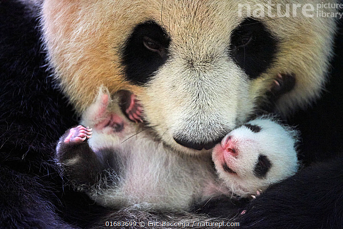 Giant panda (Ailuropoda melanoleuca) female, Huan Huan, holding cub aged one month, Beauval ZooPark, France. 9 September 2021.  ,  Animal,Wildlife,Vertebrate,Mammal,Carnivore,Bear,Giant panda,Animalia,Animal,Wildlife,Vertebrate,Mammalia,Mammal,Carnivora,Carnivore,Ursidae,Bear,Ailuropoda,Ailuropoda melanoleuca,Giant panda,Cute,Adorable,Europe,Western Europe,France,Close Up,Young Animal,Baby,Baby Mammal,Cub,Zoo,Zoos,Conservation,Captive breeding,Species recovery programs,Wildlife conservation,Endangered species,threatened,Endangered  ,  Eric Baccega