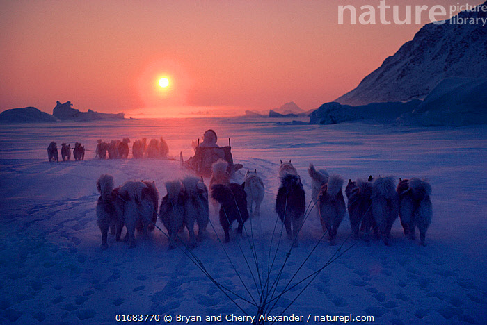 Inuit hunters travelling by dog sleds at sunset during a long polar bear hunt, Cape York. Northwest Greenland.  ,  Canis familiaris,People,Inuit,Eskimo,Eskimoes,Eskimos,Innuits,Inuits,Hunter,Hunters,Journey,Traditional,Arctic,Polar,Rear View,Animal,Clothing,Traditional Clothing,Land Vehicle,Animal Drawn,Sleigh,Snow,Sunset,Setting Sun,Sunsets,Hunting,Culture,Indigenous Culture,Domestic animal,Pet,Domestic Dog,Working Dog,Domesticated,The Sun,Canis familiaris,Dusk,Bookplate,Tribes,Dog,Arctic people,Mammal,Kalaallit Nunaat,  ,  Bryan and Cherry Alexander