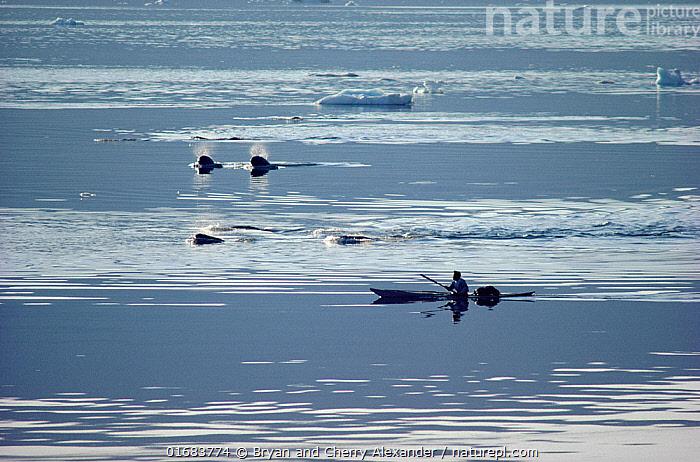 Itukusuk, an Inuit hunter, pursuing a pod of Narwhals (Monodon monoceros) in his kayak in Inglefield Bay. Northwest Greenland. (1985)  ,  Animal,Wildlife,Vertebrate,Mammal,Ceteacean,Toothed whale,Narwhal,Animalia,Animal,Wildlife,Vertebrate,Mammalia,Mammal,Cetacea,Ceteacean,Monodontidae,Toothed whale,Odontoceti,Monodon,Monodon monoceros,Narwhal,Unicorn Whale,Monodon microcephalus,Monodon monodon,Monodon narhval,People,Inuit,Eskimo,Eskimoes,Eskimos,Innuits,Inuits,Hunter,Hunters,Traditional,Group Of Animals,Group,Arctic,Polar,Back Lit,Equipment,Hunting Equipment,Harpoon,Harpoons,Boat,Kayak,Kayaks,Bay,Ice,Pack Ice,Snow,Hunting,Culture,Indigenous Culture,Coast,Coastal,Silhouette,Open boat,Bookplate,Tribes,Pod,Sea ice,Arctic people,Kalaallit Nunaat,Marine  ,  Bryan and Cherry Alexander