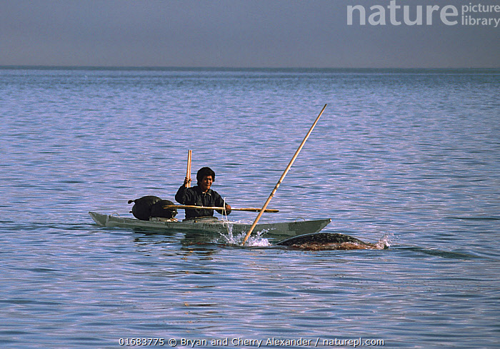 Isaq Qujaukitsoq, an Inuit hunter, harpooning a Narwhal (Monodon monoceros) from his kayak in Inglefield Fjord. Northwest Greenland. 1985  ,  Animal,Wildlife,Vertebrate,Mammal,Ceteacean,Toothed whale,Narwhal,Animalia,Animal,Wildlife,Vertebrate,Mammalia,Mammal,Cetacea,Ceteacean,Monodontidae,Toothed whale,Odontoceti,Monodon,Monodon monoceros,Narwhal,Unicorn Whale,Monodon microcephalus,Monodon monodon,Monodon narhval,People,Inuit,Eskimo,Eskimoes,Eskimos,Innuits,Inuits,Man,Hunter,Hunters,Traditional,Arctic,Polar,Equipment,Hunting Equipment,Harpoon,Harpoons,Boat,Kayak,Kayaks,Fjord,Fjords,Snow,Hunting,Culture,Indigenous Culture,Water,Open boat,Bookplate,Tribes,Arctic people,Kalaallit Nunaat,Marine  ,  Bryan and Cherry Alexander