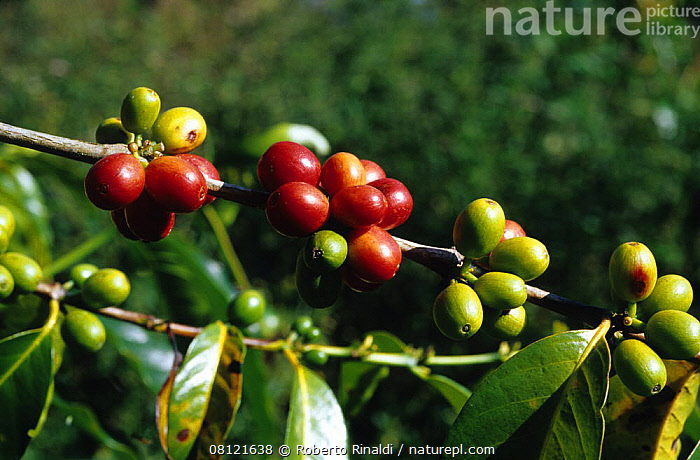 Coffee beans (Rubiaceae) growing, Mount Hagen, Papua New Guinea, ASIA,CROPS,DICOTYLEDONS,FRUIT,GROWTH,MELANESIA,PACIFIC,PACIFIC OCEAN,PLANTS,RED,RUBIACEAE,SOUTH EAST ASIA,Marine,Concepts,NEW GUINEA, Roberto Rinaldi