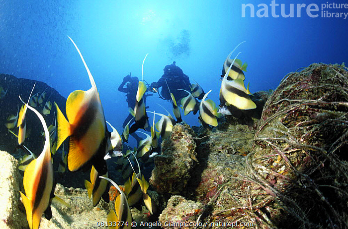 """School of Red sea bannerfish (Heniochus intermedius) and divers on wreck of the SS """"Thistlegorm"""", Straits of Gubal, Northern Red Sea.  ,  MARINE,AFRICA,BOATS,BUTTERFLYFISH,DIVING,FISH,MARINE,MERCHANT NAVY,NORTH AFRICA,OSTEICHTHYES,PEOPLE,RED SEA,TROPICAL,UNDERWATER,VERTEBRATES,WRECKS  ,  Angelo Giampiccolo"""