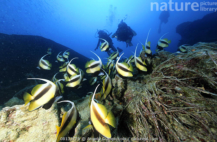 "School of Red sea bannerfish (Heniochus intermedius) and divers on wreck of the SS ""Thistlegorm"", Straits of Gubal, Northern Red Sea.  ,  AFRICA,BOATS,BUTTERFLYFISH,DIVING,FISH,MARINE,MERCHANT NAVY,NORTH AFRICA,OSTEICHTHYES,PEOPLE,RED SEA,TROPICAL,UNDERWATER,VERTEBRATES,WRECKS  ,  Angelo Giampiccolo"