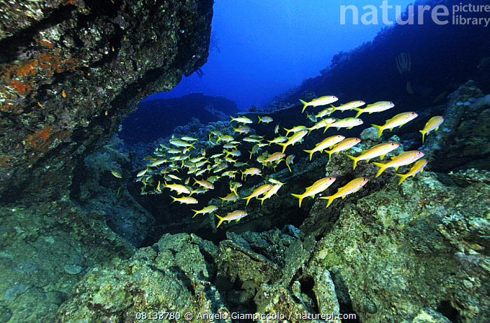 A school of Red mullets (Mullus surmuletus) swims in the wreck of the SS Thistlegorm.  ,  AFRICA,BOATS,FISH,HISTORICAL,MARINE,MERCHANT NAVY,MULLET,NORTH AFRICA,OSTEICHTHYES,RED SEA,SHOAL,TROPICAL,UNDERWATER,VERTEBRATES,WRECKS  ,  Angelo Giampiccolo