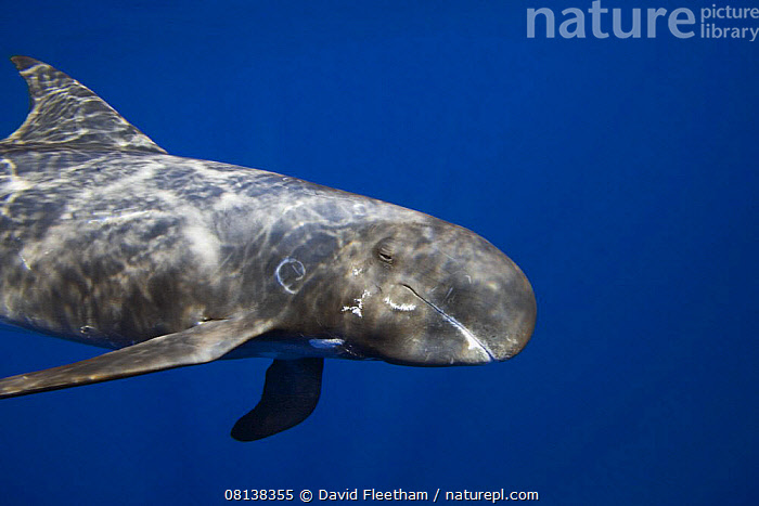 Pygmy killer whale (Feresa attenuata) also known as the slender blackfish or the slender pilot whale, Hawaii., MARINE,BLUE,CETACEANS,DOLPHINS,MAMMALS,MS,PACIFIC,PACIFIC ISLANDS,PROFILE,UNDERWATER,USA,VERTEBRATES,North America, David Fleetham