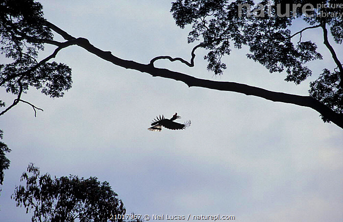 Nature Picture Library Rhinoceros Hornbill Flying To A Branch Buceros Rhinoceros Sabah Borneo Neil Lucas