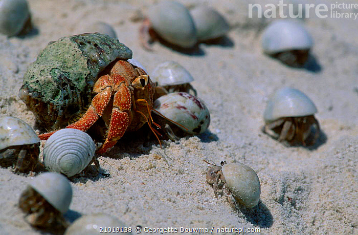 Land hermit crab (Coenobita perlatus) smaller hermit crabs Laccadives India  ,  BEACHES,CRUSTACEANS,GROUPS,INDIAN SUBCONTINENT,INVERTEBRATES,ISLAND,SHELLS,ASIA  ,  Georgette Douwma