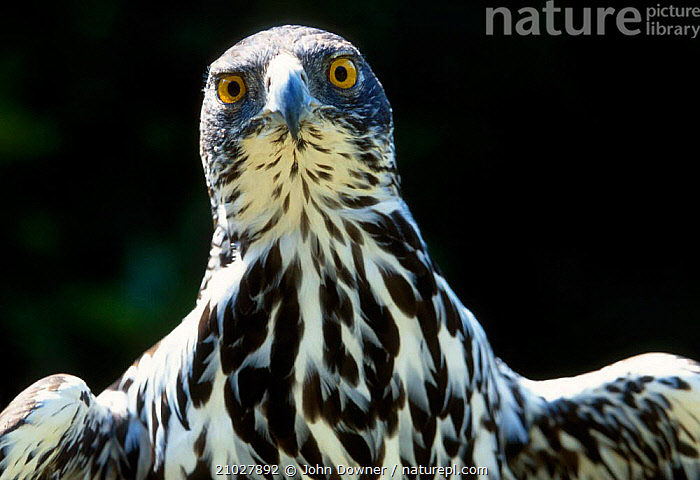 African hawk eagle portrait {Hieraaetus spilogaster} Zimbabw, AFRICA,BIRDS OF PREY,EAGLES,HEADS,ZIMBABWE,BIRDS,PORTRAITS,SOUTHERN AFRICA,RAPTOR,Catalogue1, John Downer