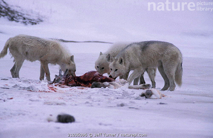 Grey wolves feed on caribou calf kill, Ellesmere (Canis lupus) White Arctic race Canada.  ,  CANADA,COLOUR CHANGES,FEEDING,PREDATION,CANADA,CANADA,GROUPS,SNOW,North America,Behaviour,Dogs,Canids ,CANIDS,VERTEBRATES,MAMMALS,  ,  Jeff Turner