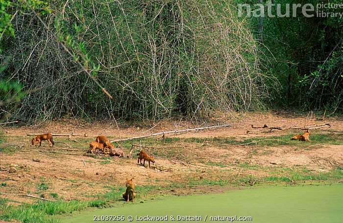 Dhole pack (Cuon alpinus) on Sambar kill Nhole NP South India  ,  RESERVE,CARNIVORES,MAMMALS,PREDATION,HOLE,GROUPS,LANDSCAPES,DOGS,INDIAN SUBCONTINENT,ASIA,BEHAVIOUR,CANIDS  ,  Lockwood & Dattatri