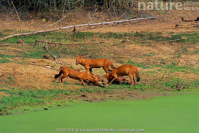 Dhole pack on sambar kill (Cuon alpinus) N'hole NP S India  ,  DOGS,PREDATION,HOLE,MAMMALS,INDIAN SUBCONTINENT,CARNIVORES,Asia,Behaviour,Canids  ,  Lockwood Dattatri