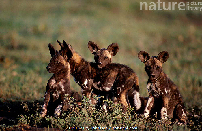 Four African wild dog puppies (Lycaon pictus) Tanzania  ,  CARNIVORES,DOGS,AFRICA,BABIES,GROUPS,JUVENILE,EAST AFRICA,MAMMALS,CANIDS , Bruce Davidson  ,  Jabruson