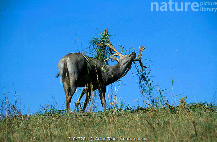 Pere Davids deer male in rut {Elaphurus davidianus} Poland  ,  MATING BEHAVIOUR,DISPLAY,BEHAVIOUR,ELAPHURUS,MALES,HUMOROUS,EUROPE,MAMMALS,ARTIODACTYLA,CONCEPTS,REPRODUCTION,COMMUNICATION  ,  Artur Tabor