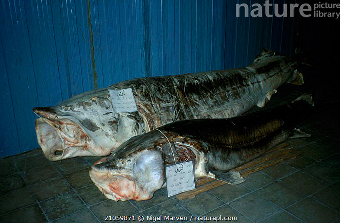 Common atlantic sturgeon for sale for caviar {Acipenser sturio} Caspian sea Iran  ,  TRADE,FISHERIES,FISH,ARABIA  ,  NIGEL MARVEN
