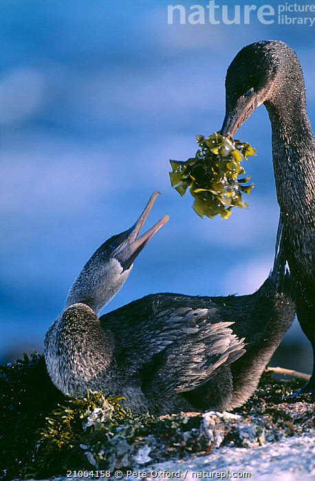 Male Galapagos Flightless cormorant offering seaweed to female {Nannopterum harrisi}  ,  PAGE,BIRDS,SEABIRDS,CUTE,INTERESTING,CORMORANTS,NESTS,FERNANDINA,SOUTH AMERICA,MATING BEHAVIOUR,COURTSHIP,NESTING BEHAVIOUR,MALE FEMALE PAIR,Reproduction,Catalogue1  ,  Pete Oxford