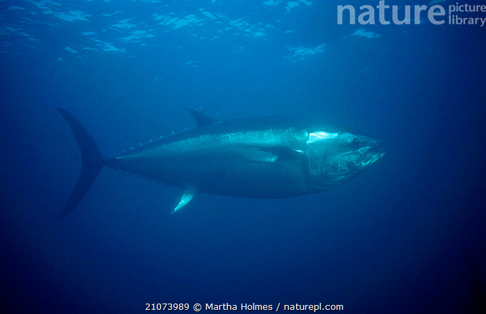 Bluefin tuna {Thunnus thynnus} Kushimoto Tuna Farm Japan. Bluefin tuna can swim at speeds of 50mph - they would win a silver swimming medal in an animal olympics competition.  ,  BLUE PLANET,FISHERIES,UNDERWATER,CAPTIVE,MARINE,FISH,Catalogue1  ,  Martha Holmes