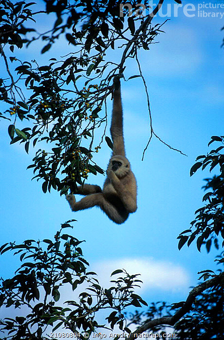 White-handed gibbon {Hylobates lar} feeding in {Ficus sp} tree Khao Yai NP Thailand  ,  PRIMATES,GIBBONS,FICUS,TREES,MAMMALS,RESERVE,SOUTH EAST ASIA,TROPICAL RAINFOREST,ASIA,FRUIT,PLANTS,APES,Catalogue1  ,  Ingo Arndt