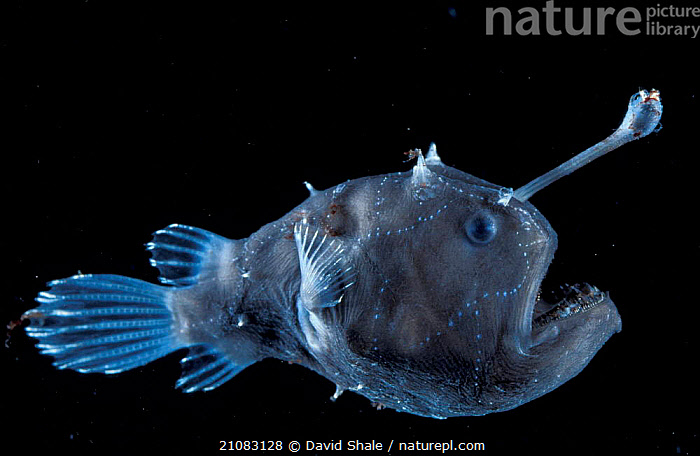 Deep sea Anglerfish female with lure {Himantolophus sp} Atlantic ocean  ,  DEEPSEA,FEMALES,UNDERWATER,ATLANTIC OCEAN,FISH,PORTRAITS,HIMANTOLOPHUS,MARINE,LANTERNFISH,BIOLUMINESCENCE,TEETH,,bioluminescence,  ,  David Shale