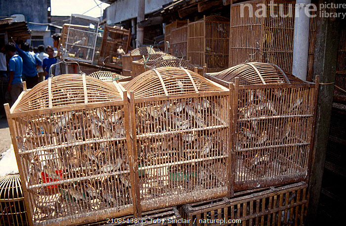 Bird market Yogyakarta market Java Indonesia  ,  SALE,CAGES,CITIES,SOUTH EAST ASIA,BIRDS,TRADERS,FINCHES,ASIA  ,  Toby Sinclair