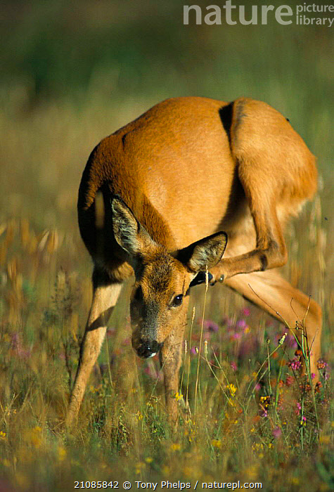 Roe deer female scratching {Capreolus capreolus} Dorset, UK  ,  ARTIODACTYLA,ENGLAND,EUROPE,GRASS,GROOMING,FEMALES,MAMMALS,Plants  ,  Tony Phelps