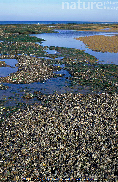 Common mussel beds at low tide {Mytilus edulis} Norfolk  ,  ATLANTIC,GROUPS,LITTORAL,MARINE,LANDSCAPES,TITCHWELL,EUROPE,MUSSELS,MOLLUSCS,ENGLAND,VERTICAL,EDIBLE,Intertidal,Invertebrates,Bivalve, Molluscs  ,  Chris Gomersall
