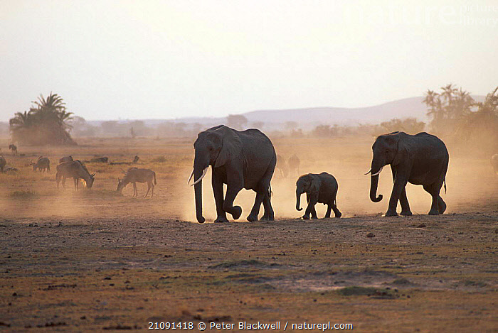 African elephant family in dust {Loxodonta africana} Amboseli NP Kenya East Africa  ,  ELEPHANTS,JUVENILE,EAST AFRICA,WALKING,ATMOSPHERIC,SILHOUETTES,BACKLIT,FAMILIES,MAMMALS,PROBOSCIDS,YOUNG,MIXED SPECIES,SAVANNA,AFRICA,GRASSLAND  ,  Peter Blackwell
