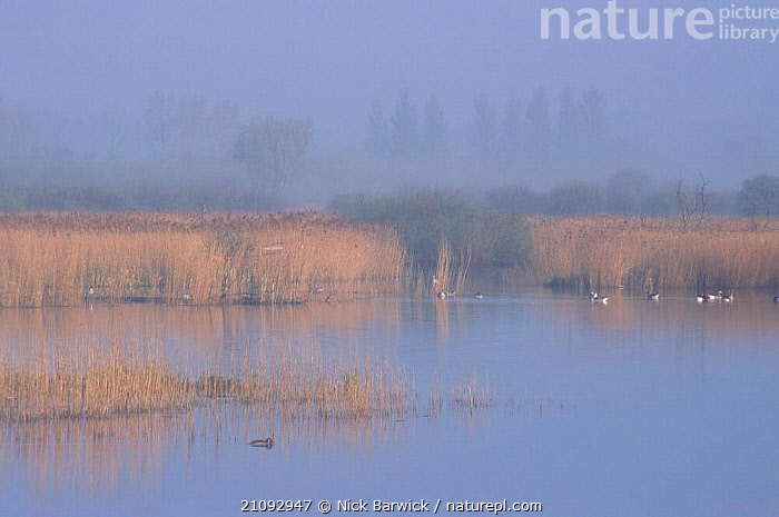Early morning view across fen with open water Strumpshaw Fen RSPB Reserve Norfolk UK with  ,  MISTY,ATMOSPHERIC,BIRDS,REEDS,MIXED SPECIES,WETLANDS,WATERFOWL,EUROPE,LANDSCAPES,ENGLAND  ,  Nick Barwick