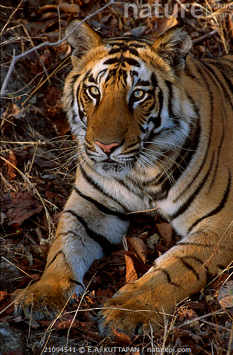 Face portrait of Bengal tiger {Panthera tigris tigris} Bandhavgarh NP MP India  ,  THREATENED,STRIPES,ENDANGERED,MADHYA,PARK,MAMMALS,PORTRAITS,CARNIVORES,NATIONAL,CATS,FACES,HEADS,PRADESH,INDIAN SUBCONTINENT,WILD,ASIA,TIGERS,BIG CATS  ,  E.A. KUTTAPAN