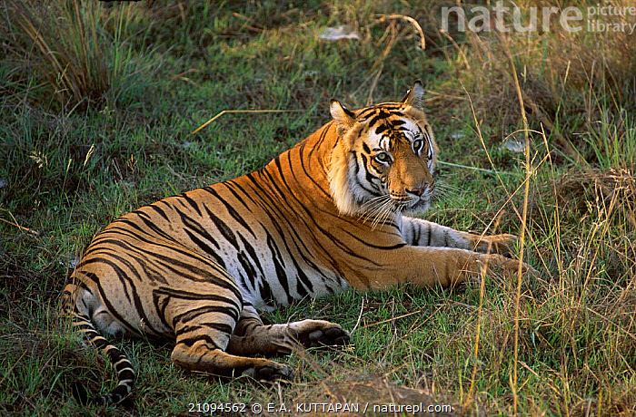 Male Bengal tiger resting portrait {Panthera tigris  tigris} Bandhavgarh NP MP India  ,  CARNIVORES,ENDANGERED,NATIONAL,RELAXING,INDIAN SUBCONTINENT,MADHYA,MAMMALS,PRADESH,CATS,THREATENED,MALES,PARK,ASIA,TIGERS,BIG CATS  ,  E.A. KUTTAPAN