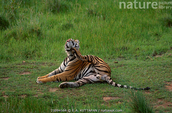 Male Bengal tiger scratching {Panthera tigris tigris} Bandhavgarh NP MP India  ,  THREATENED,CATS,GROOMING,MADHYA,PRADESH,NATIONAL,PARK,MALES,CARNIVORES,INDIAN SUBCONTINENT,ENDANGERED,MAMMALS,ASIA,TIGERS,BIG CATS  ,  E.A. KUTTAPAN