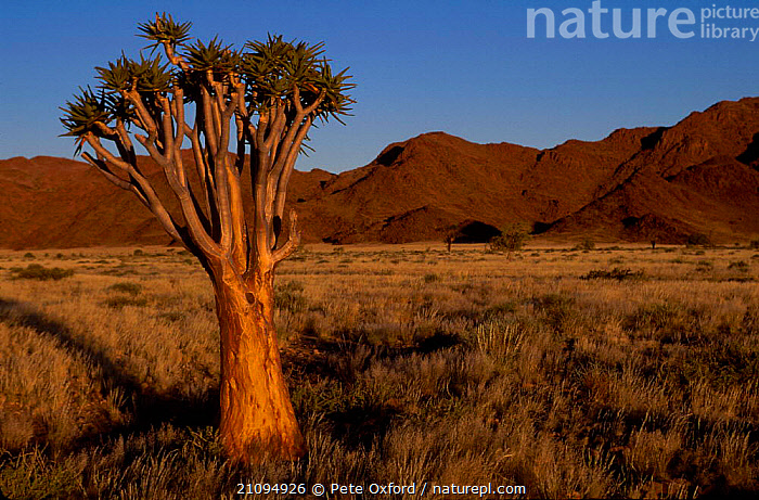 Quiver tree {Aloe dichotoma} Namib-Naukluft NP, Namibia  ,  LANDSCAPES,ALOES,AFRICA,DESERTS,SOUTHERN AFRICA,TREES,PLANTS  ,  Pete Oxford