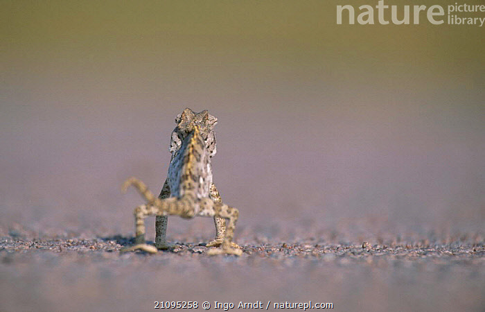 Desert chameleon walking away from camera {Chamaeleo namaquensis} Namibia  ,  SOUTHERN AFRICA,REPTILES,CHAMELEONS,HUMOROUS,AFRICA,DESERTS,SILHOUETTES,CONCEPTS,LIZARDS, CHAMELEONS, Chameleons, Chameleons,Catalogue1  ,  Ingo Arndt