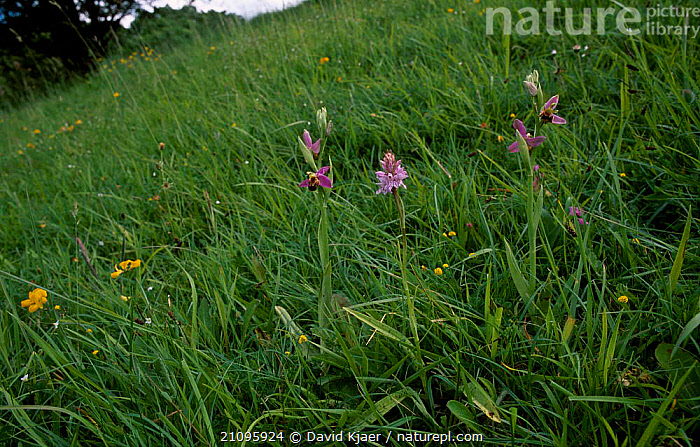 Bee orchid {Ophrys apifera} + Common spotted orchid {Dactylorhiza fuchsii} Wilts, UK  ,  FUCHSII,FLOWERS,DACTYLORHIZA,ENGLAND,EUROPE,ORCHIDS,GRASSLANDS,MIXED SPECIES,WILTSHIRE,LANDSCAPES,PLANTS,DOWNLAND,GRASSLAND  ,  David Kjaer