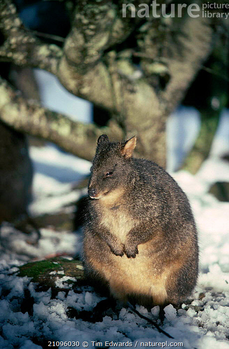 Rufous bellied pademelon in snow {Thylogale billardierri} Lake St Clair NP Tasmania  ,  CUTE,PARK,WINTER,MARSUPIALS,PADEMELONS,PORTRAITS,MAMMALS,NATIONAL,AUSTRALIA,WALLABIES  ,  Tim Edwards