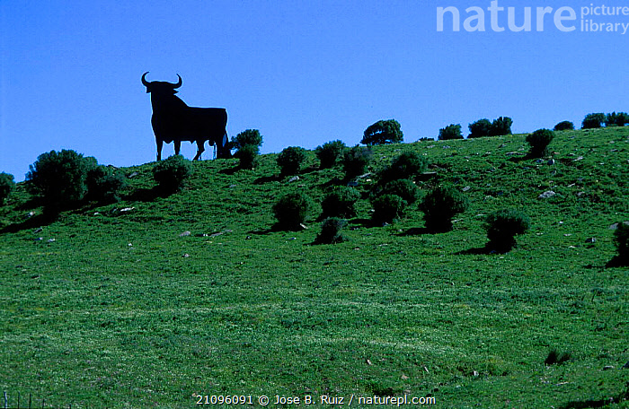 Bull silhouetted on skyline Tarifa Cadiz Spain, ARTIODACTYLA,LIVESTOCK,LANDSCAPES,MAMMALS,SILHOUETTES,Europe,Catalogue1, Jose B. Ruiz