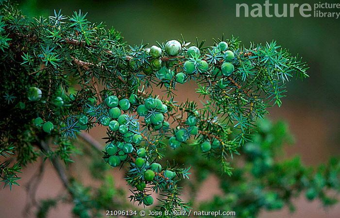 Prickly juniper with berries {Juniperus oxycedrus} Spain  ,  JUNIPERS,PLANTS,EUROPE,FRUIT  ,  Jose B. Ruiz
