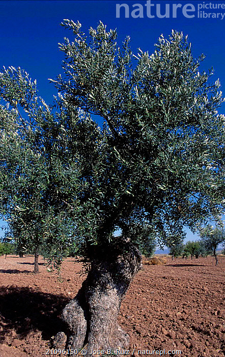 Olive tree {Olea europaea} Spain  ,  CROPS,EUROPE,TREES,FRUIT,EDIBLE,PLANTS  ,  Jose B. Ruiz